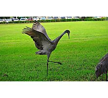 Sandhill Crane Flapping Wings Photographic Print
