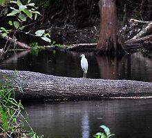Egret on Tree by joevoz