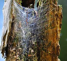 Cypress Tree Stump with Spider's Web by joevoz