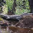 Okefenokee Alligator by Rachelo