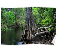 Cypress Tree Scene  Poster