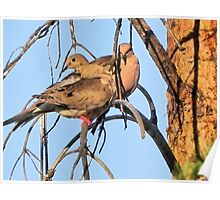 Mourning Dove Pair Poster