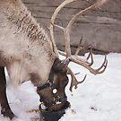 Santa's Reindeer by Heather Eeles