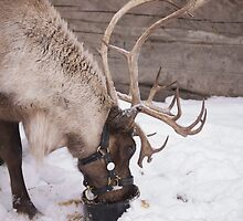 Santa's Reindeer by Heather Eeles