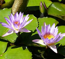 Water lilies, Gold Coast, Queensland by krista121