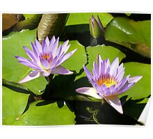 Water lilies, Gold Coast, Queensland Poster