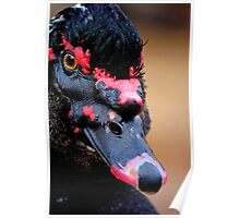 Muscovy black duck Poster