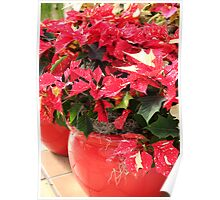 A pot of Jingle Bell Poinsettia's Poster