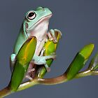 Cute young tree frog by Angi Wallace
