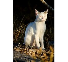 beautiful domestic cat Photographic Print