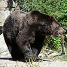 Grizzly at the Woodland Park Zoo in Seattle by rferrisx