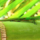 Hawaiian Gecko by karolina