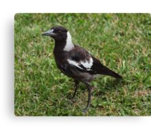 Juvenile Australian Magpie! Canvas Print