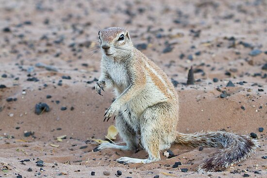 Cape Ground Squirrel by Will Hore-Lacy