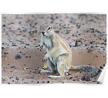 Cape Ground Squirrel Poster