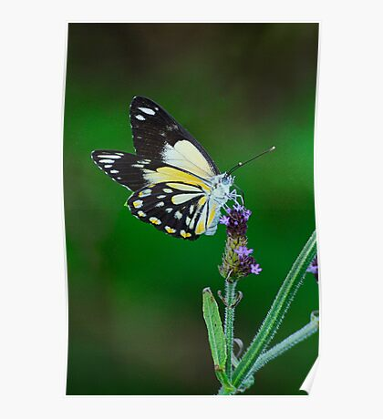 Butterfly Pose Poster