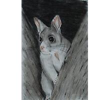 Brushtrail Possum (tinted charcoal) Photographic Print