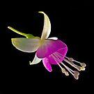Fuchsia XXV by Tom Newman