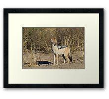 Jackal on patrol Framed Print