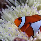 Clownfish by darkmoda
