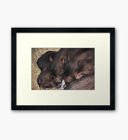 Sleeping Piglets Framed Print