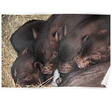 Sleeping Piglets Poster