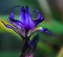 Watercolored Iris Photo by photojeanic