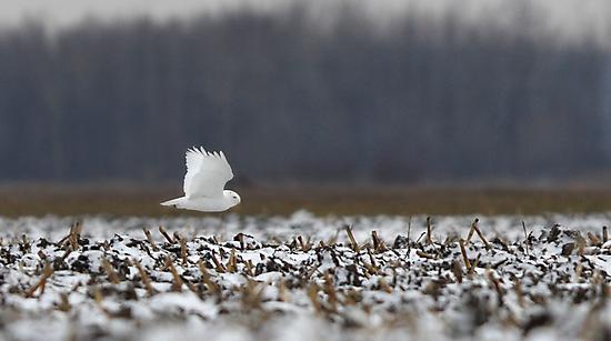 Ghost - Snowy Owl by Jim Cumming