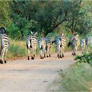 THIS IS THE WAY! - BURCHILLS ZEBRA - Equus burchelli  by Magaret Meintjes