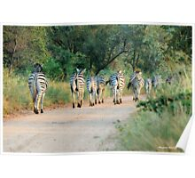 THIS IS THE WAY! - BURCHILLS ZEBRA - Equus burchelli  Poster