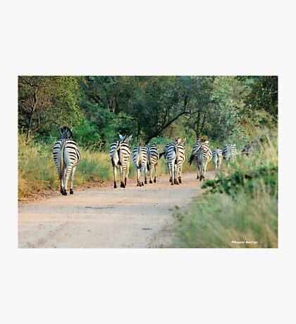 THIS IS THE WAY! - BURCHILLS ZEBRA - Equus burchelli  Photographic Print