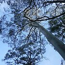 Looking up at the tall trees by Initially NO