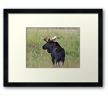 Bull Moose in Colorado Framed Print