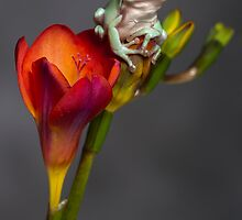 Whites tree frog on freesia by Angi Wallace
