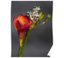 Whites tree frog on freesia Poster