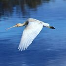 Flying Spoonbill by Daniela Pintimalli