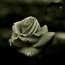 Monochrome Rose by Evita