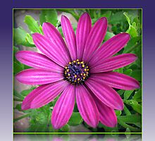 Celebrating the Sunshine - Vibrant Pink Cape Daisy by MidnightMelody