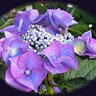 Beautiful Blue Blossom - Lace Cap Hydrangea by kathrynsgallery