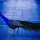 Peacock by melissatoledo