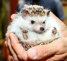 Hedgehog  by melissatoledo