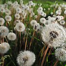 Middle of Summer. White dandelions by Anton Oparin