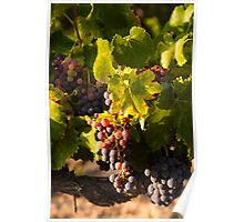 Luberon vineyard Poster