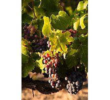 Luberon vineyard Photographic Print