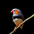 Zebra Finch by Robyn Carter