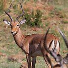 Impala by Will Hore-Lacy