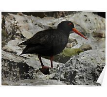 Sooty Oystercatcher (Haematopus fuliginosus) - Coffin Bay, South Australia Poster