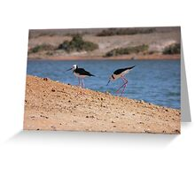 Pied Stilts (Himantopus leucocephalus) - Whyalla, South Australia Greeting Card