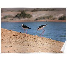 Pied Stilts (Himantopus leucocephalus) - Whyalla, South Australia Poster