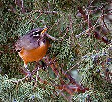 Rockin' Robin by lookagain